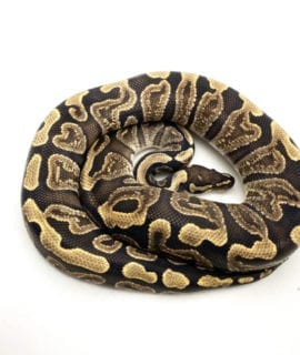 Male GHI Het Clown Royal Python Breeder CB