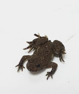 Yellow Bellied Toad CB 1-3cm