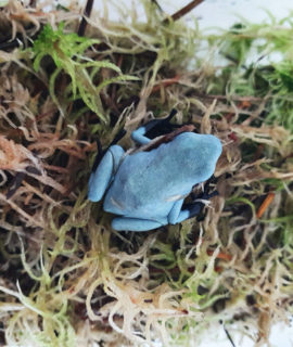 "Splashback Poison Arrow Frog ""Blue"" CB"