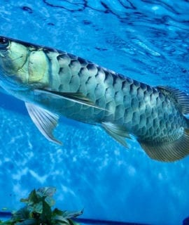 Malaysian Blue Base Arowana (with Cites) Sub-Adult 18""