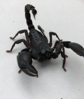 Asian Blue Forest Scorpion WC