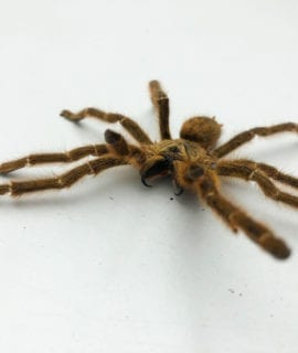 Male Orange Baboon Tarantula Adult CB