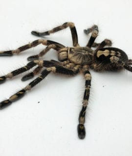 Female Ivory Ornamental Tarantula 10-15cm CB