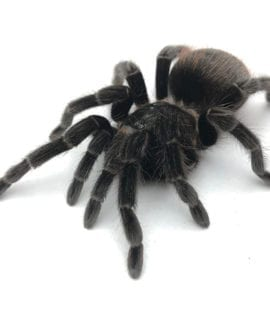 Female Mexican Red Rump Tarantula Adult CB