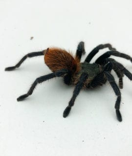 Female Green Bottle Blue Tarantula Sub Adult CB