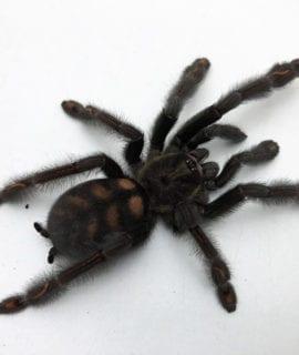 Venezuelan Suntiger Tarantula 7-10cm CB
