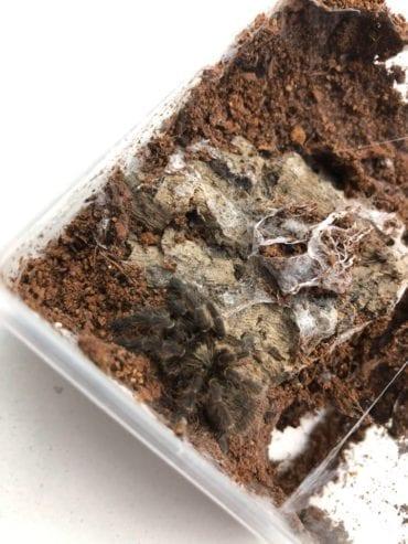 Burst Horned Baboon Tarantula 2-4cm CB