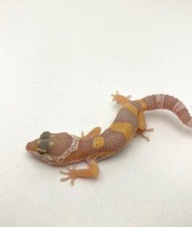 Tremper Albino Leopard Gecko CB20
