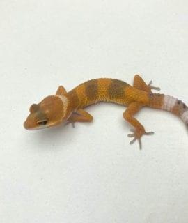 Super Hypo Leopard Gecko CB20