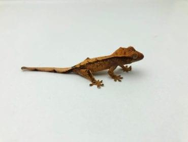 Female Phantom Pinstripe Crested Gecko CB20