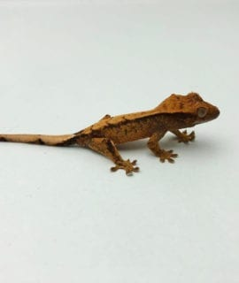 Female Phantom Pinstripe Crested Gecko CB20