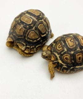 Leopard Tortoise CB19