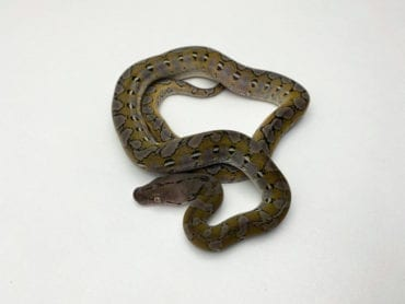 Male Anery Super Dwarf Reticulated Python CB20