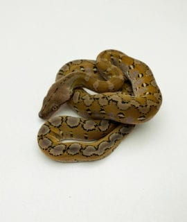Male Anery Platinum Super Dwarf Reticulated Python CB20