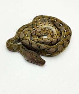 Male Platinum het Anery Super Dwarf Reticulated Python CB20