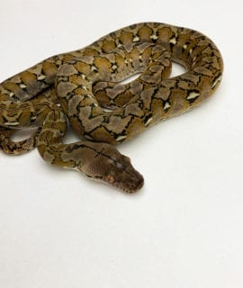 Female Platinum het Anery Super Dwarf Reticulated Python CB20
