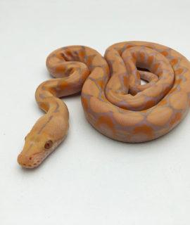 Male Albino Lavender Dwarf Reticulated Python CB20