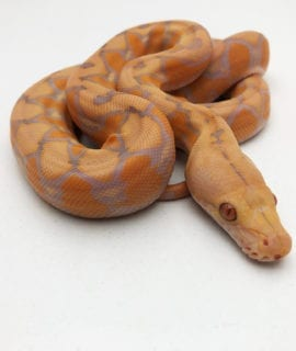 Male Lavender Sunfire Dwarf Reticulated Python CB20