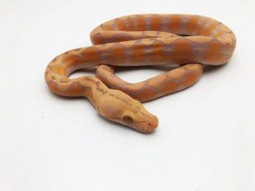 Male Lavender Sunfire Dwarf Reticulated Python CB20