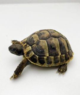 Hermann's Tortoise CB19