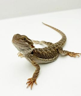 Female Classic Bearded Dragon CB20