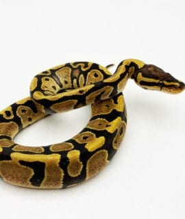 Female Disco Royal Python CB20