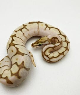 Female Lesser Bee Royal Python CB20