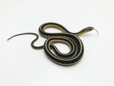 Northern Garter Snake CB20