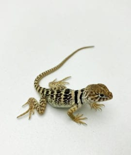 Eastern Collared Lizard CB20