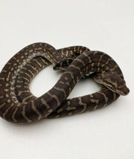 Bredli Python CB19