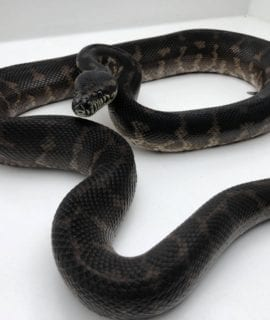 Female Irian Jaya Carpet Python CB17