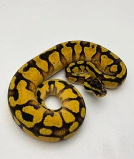 Male Enchi Pastel Yellowbelly Royal Python CB20