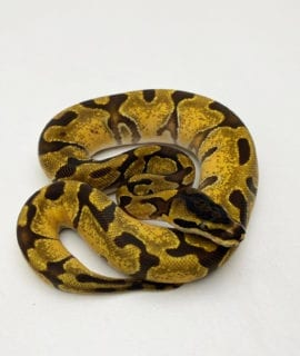 Female Super Enchi Royal Python CB20