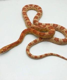 Female Amel Corn Snake CB19