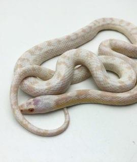 Female Snow Corn Snake CB19