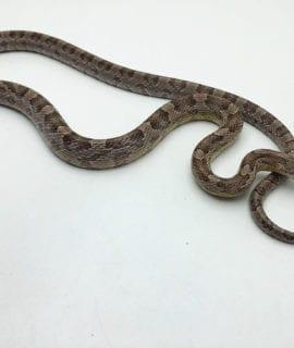 Male Anery Corn Snake CB19