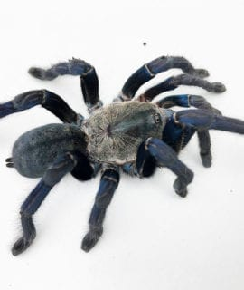 Adult Female Cobalt Blue Tarantula CB
