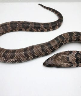 Male Hypo and Female het Hypo False Water Cobra CB