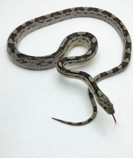 Female Anery Motley Corn Snake CB19