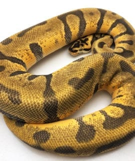 Male Pastel Super Enchi Leopard poss Orange Dream Royal Python CB18