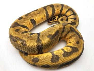 Male Pastel Super Enchi Leopard poss Orange Dream Royal Python CB18