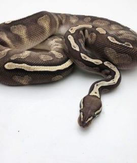 Male GHI Lesser Royal Python CB18