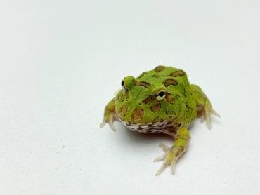 Green Horned Frog CB20
