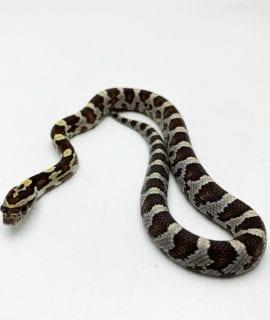Caramel Corn Snake CB20