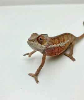 Male Ambilobe Panther Chameleon CB19
