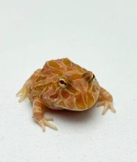 Strawberry Horned Frog CB20