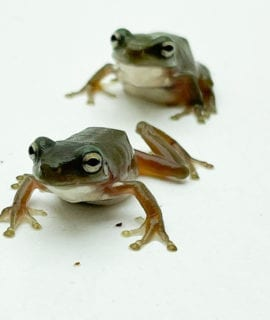 Whites Tree Frog CB 1-2cm