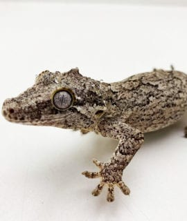 Female Reticulated Gargoyle Gecko Proven Breeder 42g