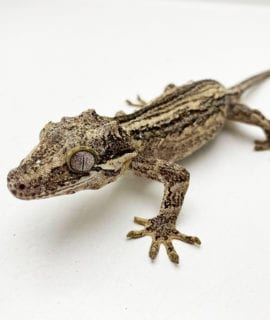 Female Black & White Super Stripe Gargoyle Gecko Proven Breeder 32g