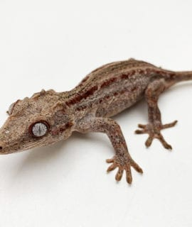Female Red Stripe Gargoyle Gecko Proven Breeder 40g